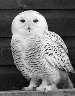 Vicksburg naturalist Fred Rapp called this snowy owl a pet.