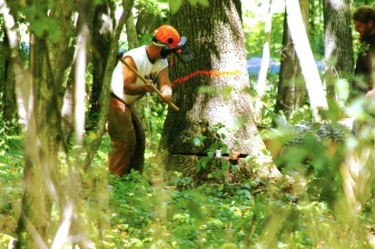 A logger prepares to fell a tree from Chris Moore's woods in Vicksburg. The wood was shipped to Seattle to use for tables and benches in his Old Stove Brewery in Seattle.