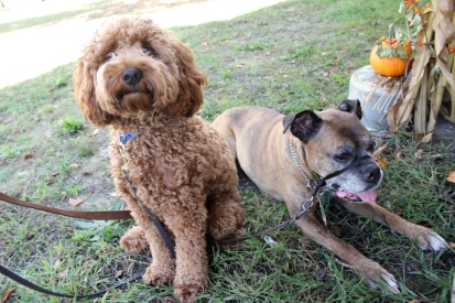 A toy Labradoodle and a boxer who enjoy a good home, rest up at the Harvest Festival.