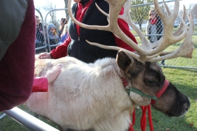 """Reindeer from Reindeer Farms in Alamo Township will visit the Historic Village from 4-7 p.m. for children to pet and ask questions about their travels. Kids like to know if they can really fly or why their noses aren't glowing, the owners say. The Santa connection for reindeer is relatively recent, having first appeared in the famous poem """"Twas the Night Before Christmas,"""" in 1823. Rudolph debuted in 1939, when Chicago's Montgomery Ward stores gave kids a book featuring his story."""